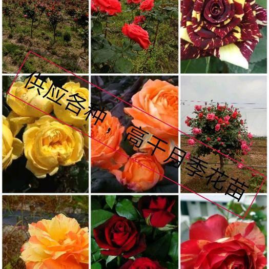 臨沂平邑縣樹狀玫瑰 供應,各種樹樁月季花苗,品種齊全,顏色齊全,現挖現發,包成活