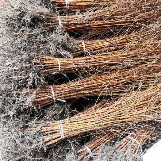 益陽南縣 優質優價大量供應一年生兩年生水杉苗