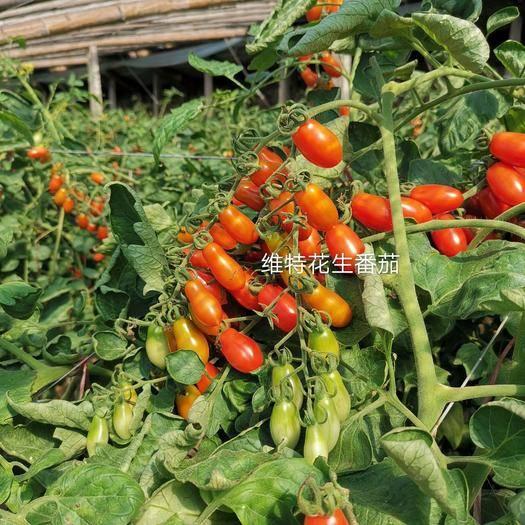 潍坊寿光市樱桃小番茄 红色花生番茄籽花生柿子种子辽宁丹东409种子30粒包装