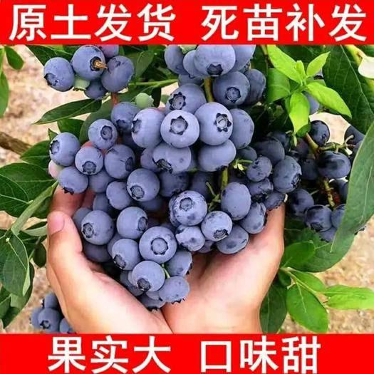 平邑县 优质蓝莓苗  基地直销 品种多样  兔眼蓝莓 蓝宝石 莱克