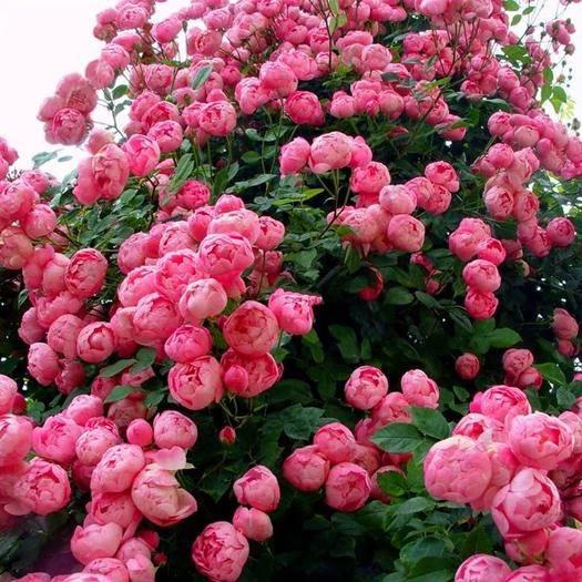平邑县蔷薇苗 蔷薇花苗 爬藤月季  分枝多 开花爆满