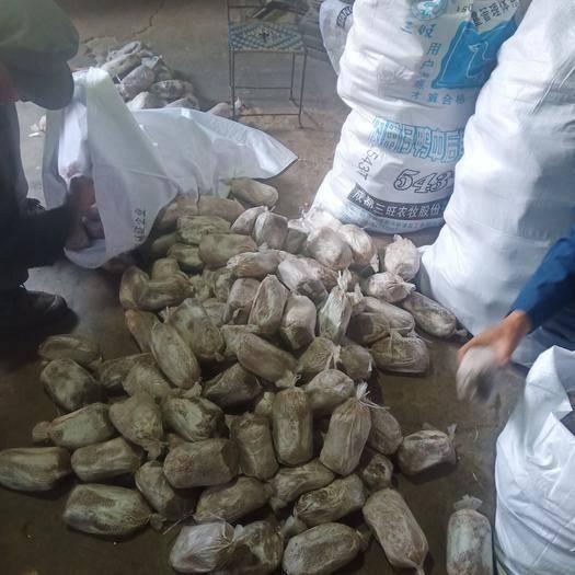 德昌县茯苓种子 做种老司机包结果,包大