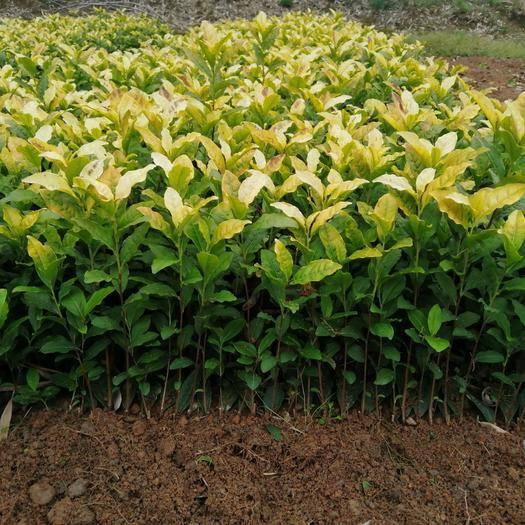安吉县中黄3号茶树苗 黄金叶茶苗 自产自销 一手货源