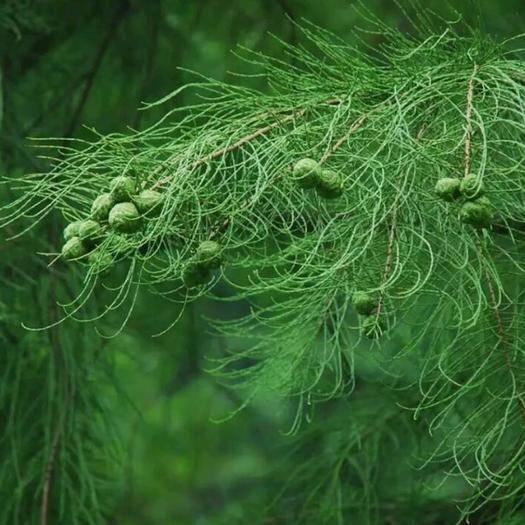 常州池杉种子 池衫种子