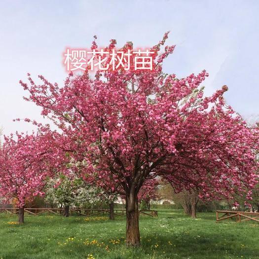 平邑縣 正宗日本櫻花 嫁接苗 開花美麗 綠化必備 基地直發 優質苗