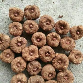 魔芋种 长期批发优质花魔芋,大量有货,免费提供种植技术辅导,全程服务
