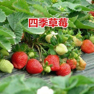 平邑县奶油草莓苗 四季奶油草莓 现挖发货  下单备注品种。产地直销