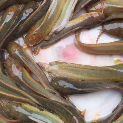广州本地塘鲺 塘角鱼