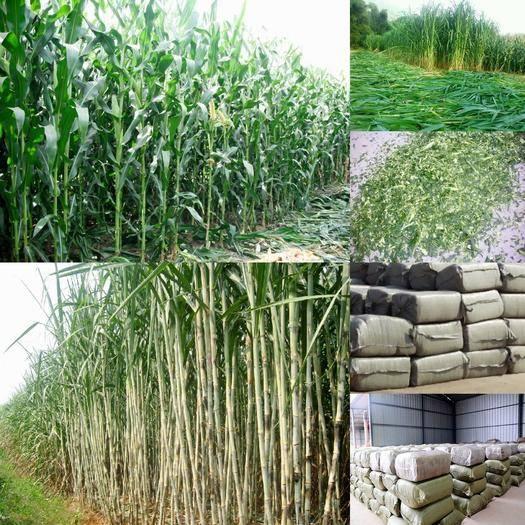 来宾兴宾区青贮类饲料 大量青贮草料,甘蔗尾叶,青玉米秸秆常年供应