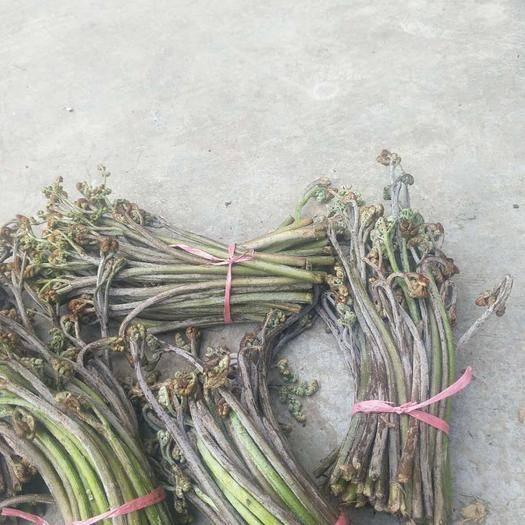 貴陽修文縣 蕨菜每天可供應2000斤左右