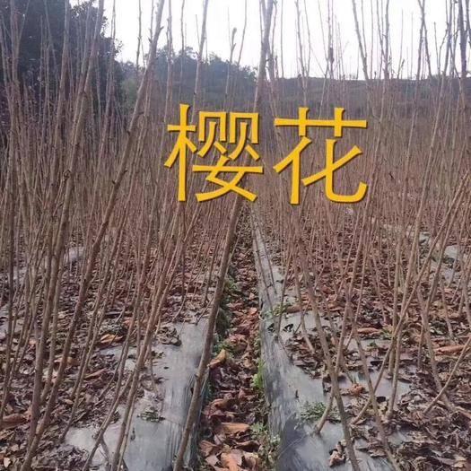 新昌縣 櫻花