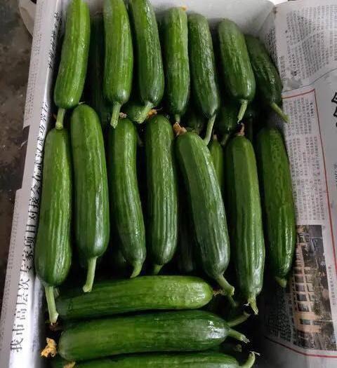 烟台福山区 水果黄瓜一件代发,小黄瓜,爽脆可口,新鲜到家,