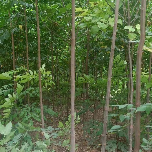 滁州來安縣 欒樹黃山欒樹量大自家苗圃低價出售