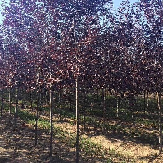 铁岭开原市紫叶稠李苗 紫叶稠李 园林绿化苗木 北方彩叶景观树种 规格全 实地看苗