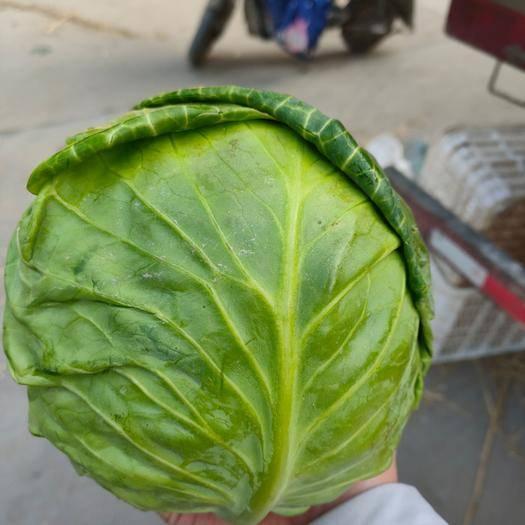邯鄲叢臺區 供應綠甘藍,包菜,原產地四川成都,質量好價格低,鮮綠蔬菜