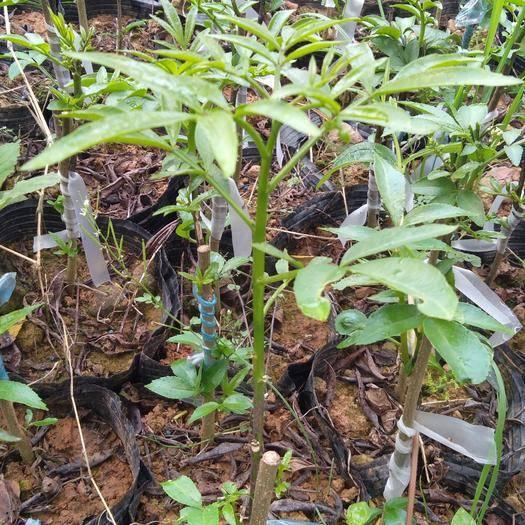 眉山丹棱縣無刺花椒苗 大量無刺藤椒嫁接苗出售。