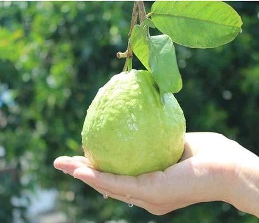 汕头澄海区 自家果园,珍珠白A级果番石榴,包甜