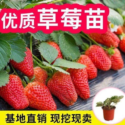 平邑县 优质奶油草莓,美十三草莓苗,300亩种植基地现挖现发。