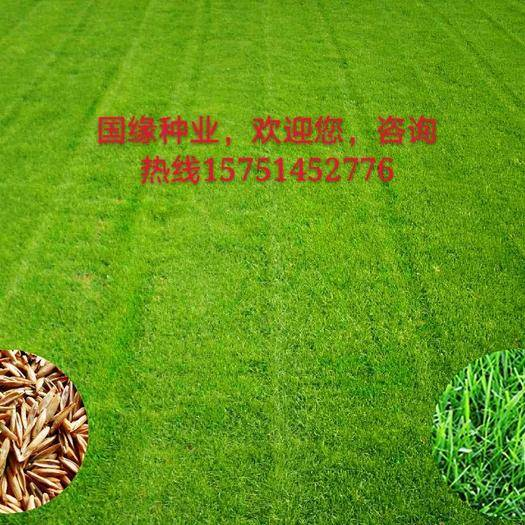宿迁沭阳县高羊茅种子 高羊茅四季护坡草坪,全国货到付款,量大优惠