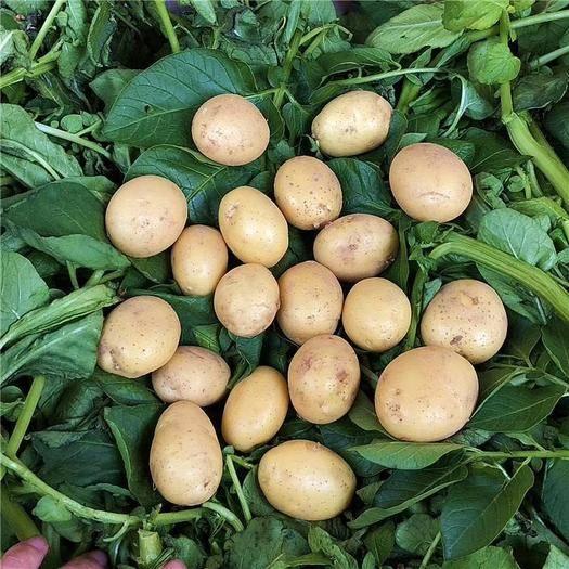 滕州市 常年供應各種規格迷你小土豆,小洋芋