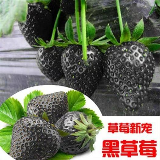 平邑县 黑巴克草莓苗 基地直销现挖现发当年结果苗盆栽地栽南方北方种植