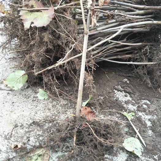 丹东宽甸满族自治县 大量批发二年抗寒大榛子苗 成活率高 结果早 产量高 提供技术
