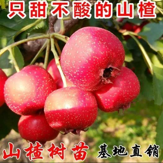临沂平邑县大金星山楂树苗 大金星山楂嫁接苗 包成活,包挂果,品种齐全