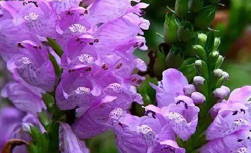 宿迁 假龙头种子 花属多年生宿根草本植物