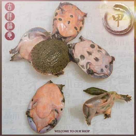 抚州黎川县 0.1—0.3两甲鱼苗量大有货,现在是放养甲鱼苗最好时节