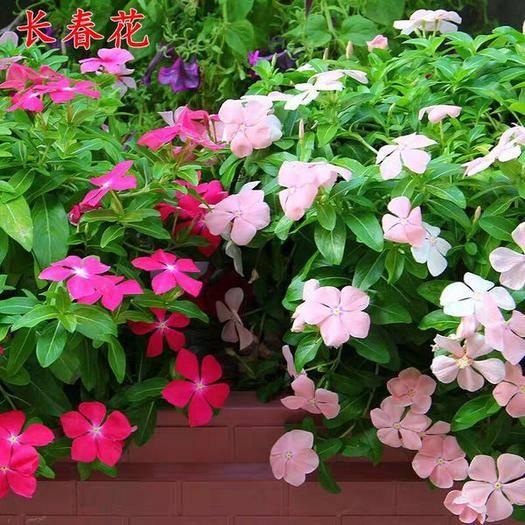 宿迁沭阳县 长春花种子日日春四季开花不断易种易活室内阳台盆栽庭院花种籽子