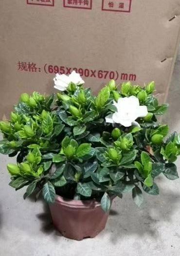廣州 230#小葉梔子花,一件32盆,價8.5元