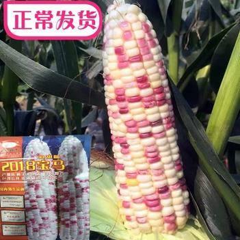 甜糯玉米种子 彩甜糯玉米种子 产量高 棒子大 色泽好200克