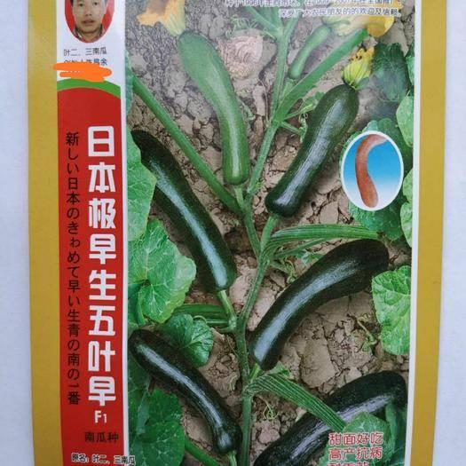 济南 日本极早生五叶早南瓜种子 青小南瓜种籽