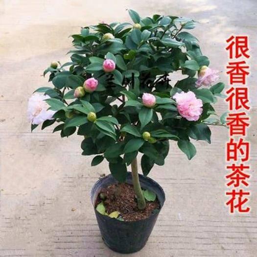 平邑縣 五色赤丹茶花盆栽花卉植物室內四季 帶花苞名貴茶花苗