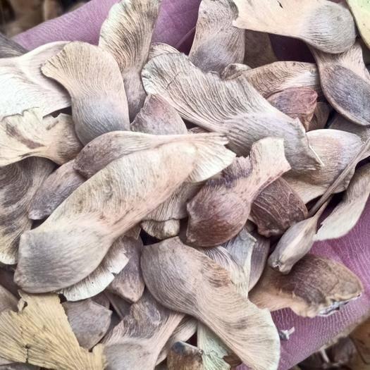 苏州吴中区 五角枫种子