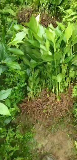 融安縣 草珊瑚種苗