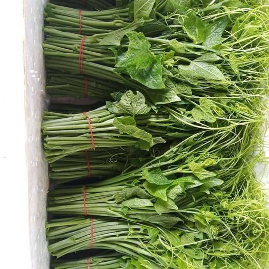 百色靖西市佛手瓜藤尖 大山瓜农种植、绿色食品,精品佛手瓜苗,无公害龙须菜。