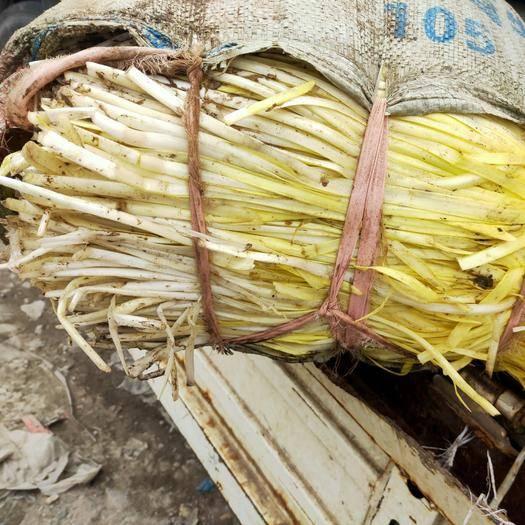 苏州太仓市 精品太仓本地韭黄,大量上市,量大从优