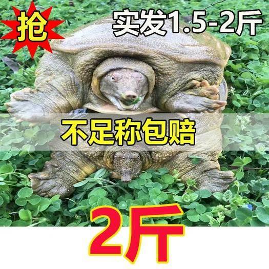 嘉兴海盐县 外塘青黄背甲鱼1.5-2斤26元斤包邮。