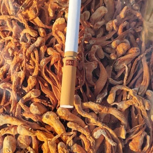 辽阳灯塔市北虫草 虫草花干货,食用菌。