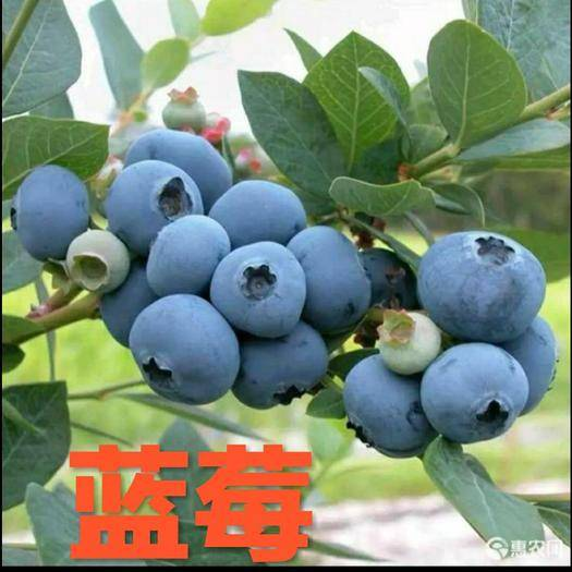 平邑縣矮叢藍莓苗 兔眼藍莓,薄霧藍莓,藍美藍豐藍莓,量大優惠