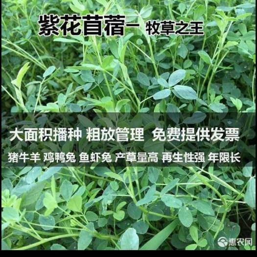 宿迁沭阳县苜蓿草种子 紫花苜蓿种子高产多年生种子冬季耐寒喂牛羊兔