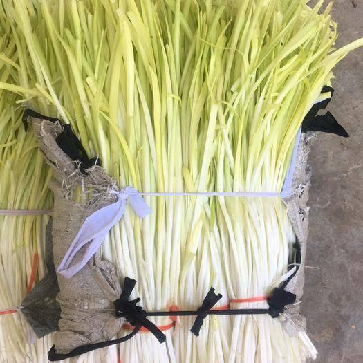 曲靖沾益区黄金韭 头茬 20~30cm