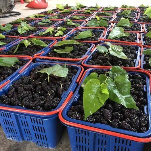 汕頭 廣東汕頭金灶新鮮桑葚水果代收批發零售一件代發
