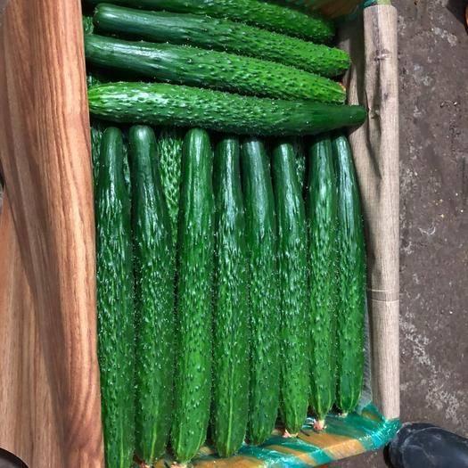 潍坊寿光市 精品黄瓜