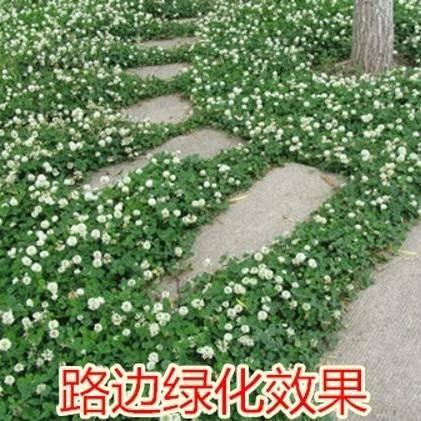 上海静安三叶草种子 白三叶种子,绿化,护坡,可提供发票
