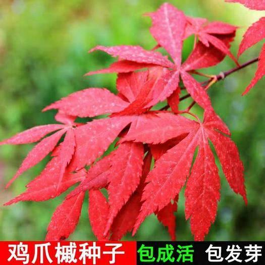 苏州枫树种子 新采鸡爪槭种子 可提供技术指导发芽率95%以上