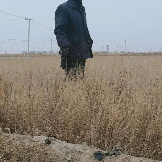 民勤县 本人有8亩地的梭梭苗长势良好,有意者随时可以看货