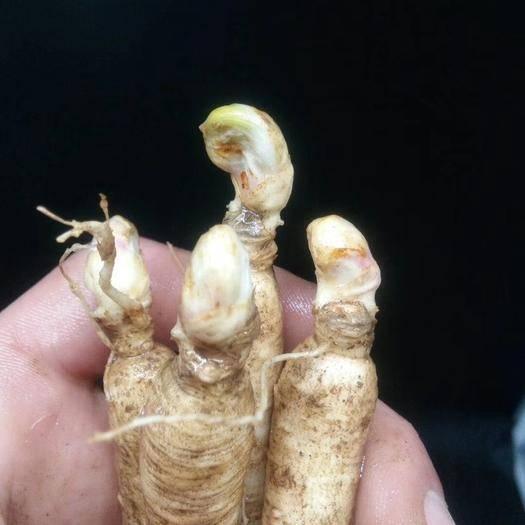 通化縣人參種苗 送10粒人參種子,種植資料,600克人參土。