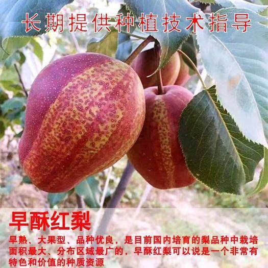 临沂平邑县 早酥红梨秋月梨脆冠梨树苗好栽易活口感脆甜品种齐全